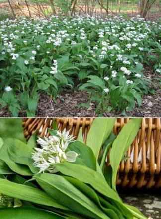 Черемша, Allium ursinum