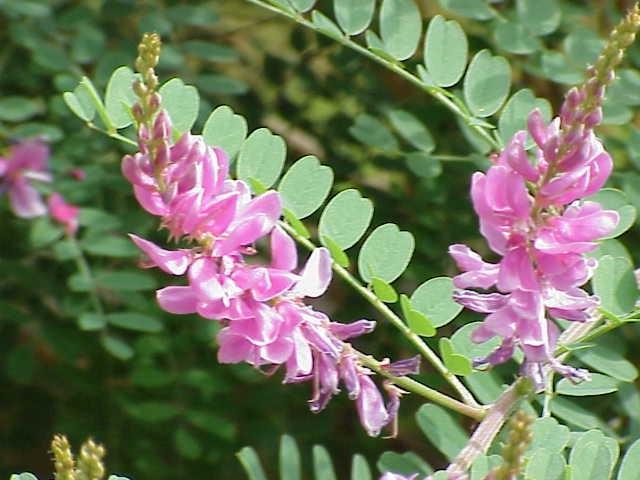 Индигофера красильная, Indigofera Tinctoria