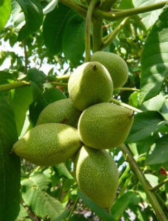 Орех маньчжурский, Juglans mandshurica