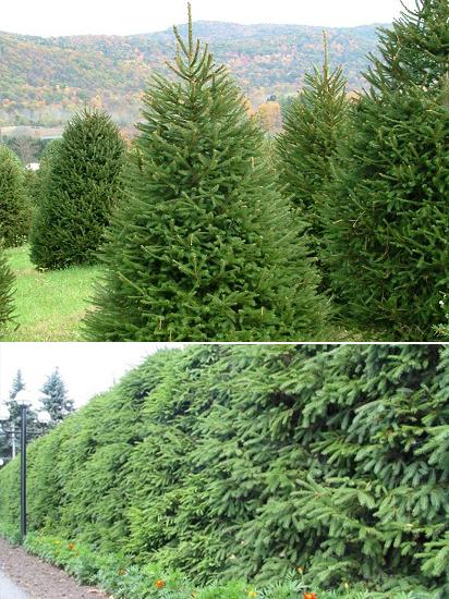 Ель обыкновенная, европейская, Picea abies