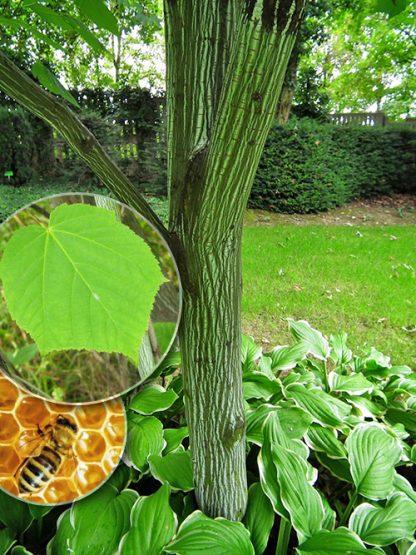 Клен зеленокорый, Acer tegmentosum Maxim