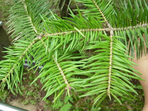 Пихта цельнолистная, Аbies holophylla