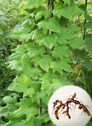 Диоскорея, корень, Dioscorea