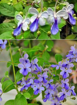 клеродендрум Угандийский, Clerodendrum ugandense