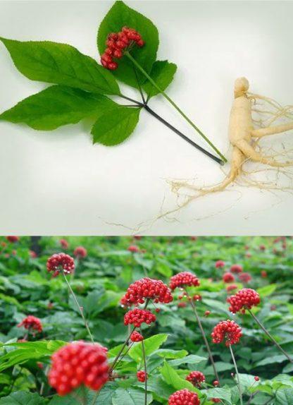 Сырье, женьшень, стебли, Panax ginseng