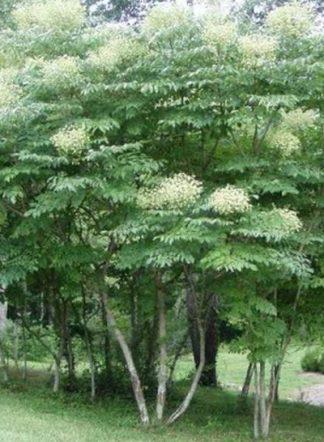 Аралия маньчжурская, корень, Radices Araliae