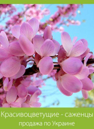 Красивоцветущие - саженцы (продажа по Украине)
