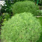 Полынь лимонная, Artemisia abrotanum