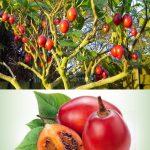 Cyphomandra betacea seedlings