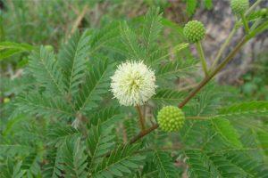 Leucaena leucocephala, Леуцена