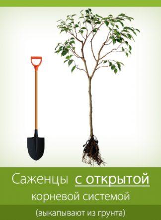 Саженцы с открытой корневой системой (выкапываются из грунта) продажа по Украине