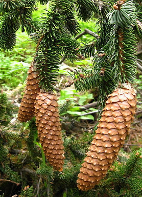 Ель аянская, Picea jezoensis