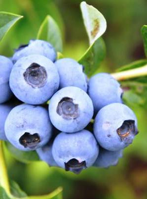 "Голубика ""Дюк"", blueberry"