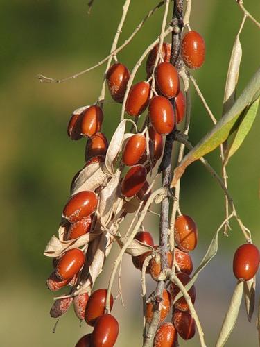 Джида, Elaeagnus angustifolia