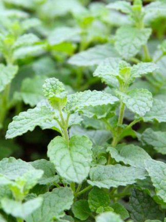 strawberry mint, мята земляничная