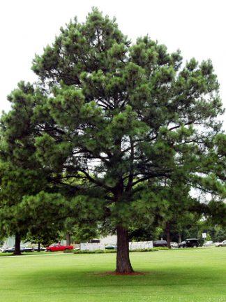 Сосна черная, pinus nigra