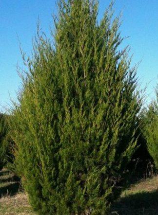 Можжевельник виргинский, Juniperus virginiana