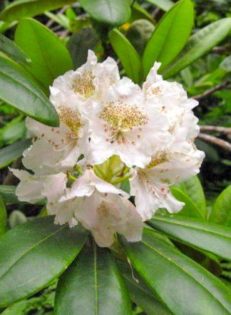 Рододендрон короткоплодный, Rhododendron brachycarpum