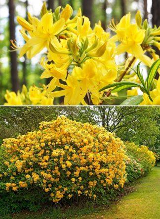 Рододендрон желтый, Rhododendron luteum