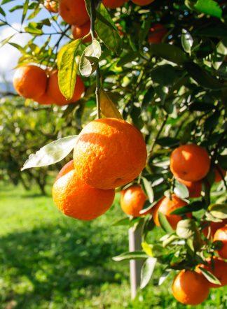 Мандарин, саженцы, mandarin