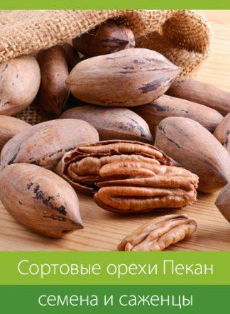 Сортовые орехи ПЕКАН, семена и саженцы
