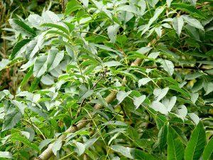 Бархат японский, Phellodendron japonicum
