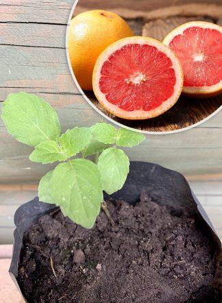 Мята грейпфрутовая, mint grapefruit
