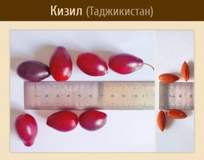 Кизил крупный, семена, dogwood