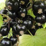 черная смородина, Няня, black currant