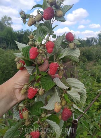 """Малина """"Полонез"""", саженцы, raspberry"""