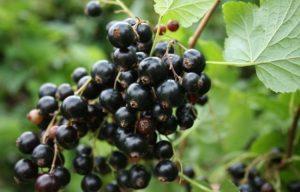 черная смородина, Лика, black currant