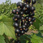 черная смородина, Шаман, black currant