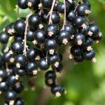 черная смородина, Алтайская поздняя, black currant