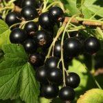 черная смородина, Нюрсинка, black currant