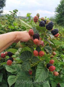 "Ежевика ""Черная магия"", blackberry"