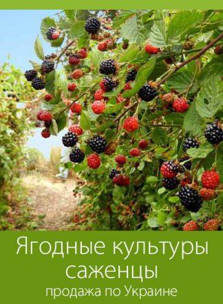 Ягодные культуры, саженцы, продажа по Украине
