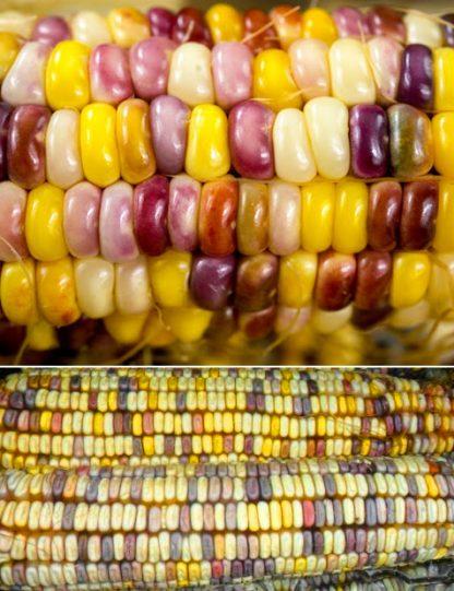 "Кукуруза ""Индийский гигант"", corn"