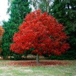 Дуб бореальный, Quercus borealis