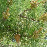 Сосна жесткая, Pinus rigida