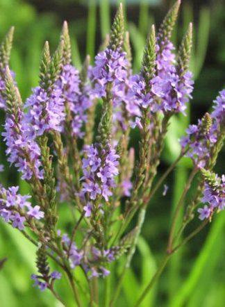 Вербена лекарственная, Verbena officinalis