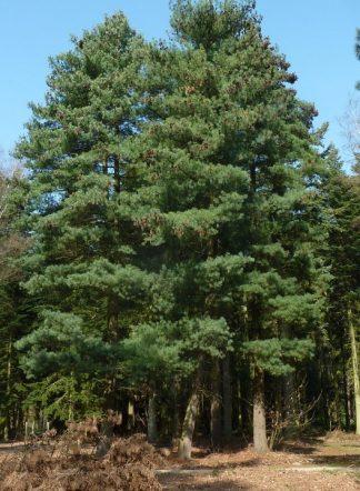 Сосна румелийская, болканская, Pinus peuce