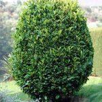Лавровишня лекарственная, Prunus laurocerasus