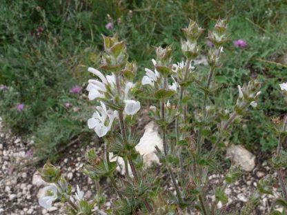 Шалфей эфиопский, семена, Salvia aethiopis