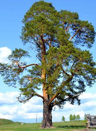 Сосна обыкновенная, Pinus sylvestris, семена