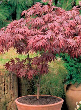 Клен пальмолистный, дланевидный, Acer palmatum