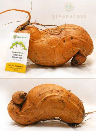 Батат Мохан, корнеплод