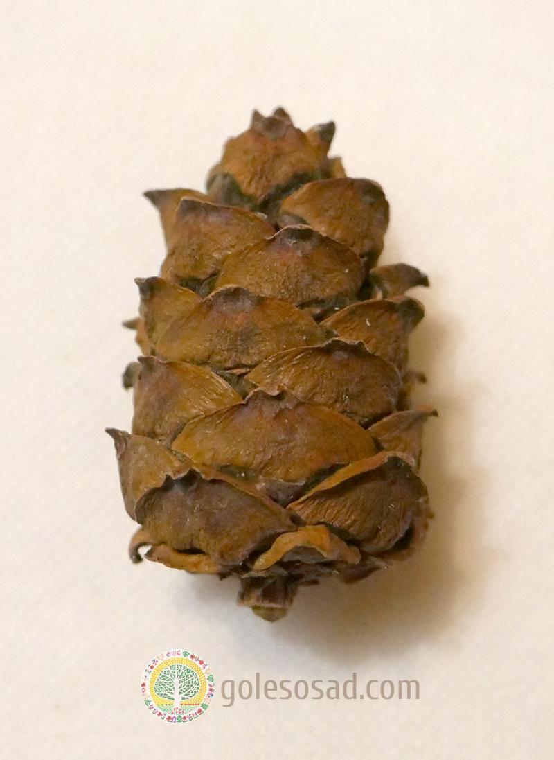 Шишка кедрового стланика, pinus pumila cone