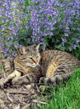 Котовник, нетепа, семена, Netepa