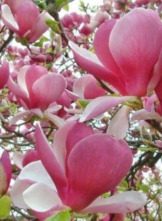Магнолия Суланжа, Magnolia soulangeana, семена