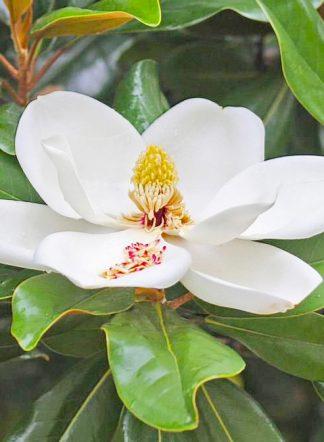 Магнолия крупноцветковая, семена, Magnolia grandiflora